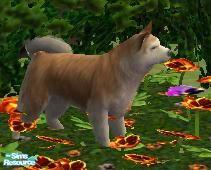 Sims 2 — Icelandic Sheepdog by macanderson — The Icelandic sheepdog is a breed of dog of spitz type originating from the