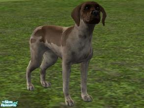 Sims 2 — German Short Haired Pointer by Wolf91 — The short haired german pointer, is friendly and easy to obedience