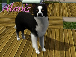 Sims 3 — Alanis Dog by MissMoonshadow — Meet Alanis, a beautiful female black and white Border Collie. Once you befriend