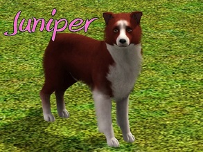 Sims 3 — Juniper Dog by MissMoonshadow — Meet Juniper, a beautiful female red and white Border Collie. She, like many